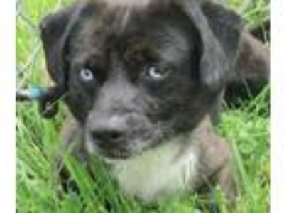 Adopt Oliver a Black - with White Dachshund / Jack Russell Terrier / Mixed dog