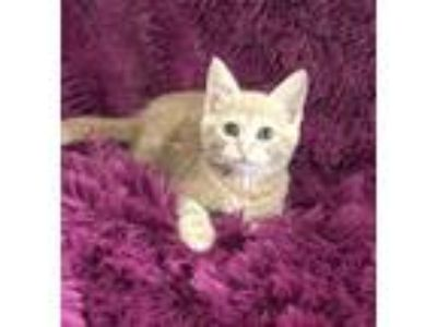 Adopt SANDY - HOPELESSLY DEVOTED! a Tan or Fawn Domestic Shorthair (short coat)