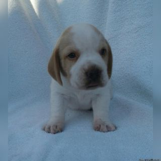 Registered Beagle Puppy
