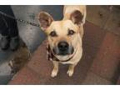 Adopt Garth a Labrador Retriever, Shepherd