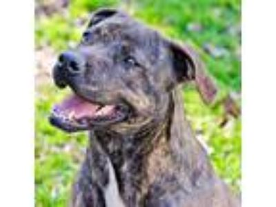 Adopt Lucy a Brindle - with White Mountain Cur / Mixed dog in Rutherfordton