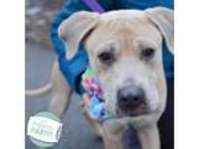 Adopt Roy a Pit Bull Terrier, Mixed Breed