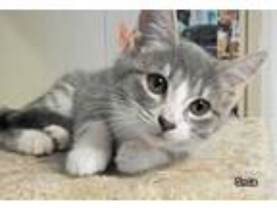 Adopt SAGE a Gray or Blue (Mostly) Domestic Shorthair (short coat) cat in Macon