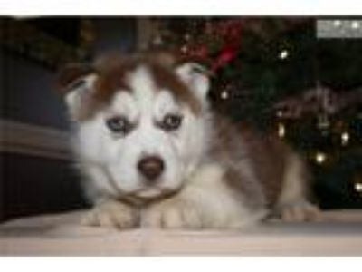 Brown and White Male Siberian Husky