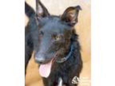 Adopt Jareth a Black Airedale Terrier / Australian Cattle Dog / Mixed dog in