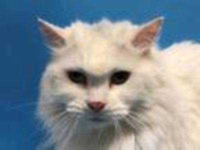 Adopt Jojo a Domestic Long Hair, Domestic Short Hair