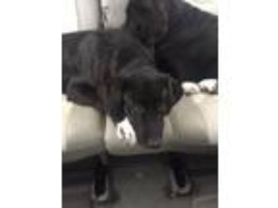 Adopt Penny a Black - with White Great Pyrenees / Labrador Retriever / Mixed dog