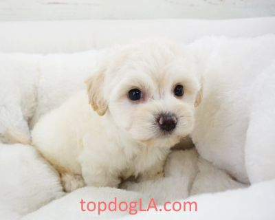 Maltipoo Puppy - Female – Ivy ($1,299)