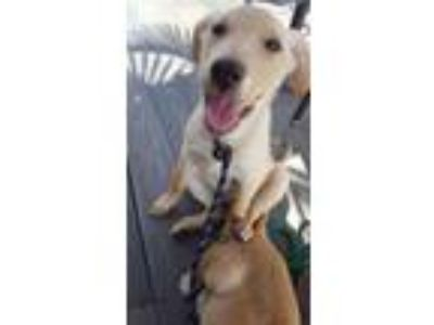 Adopt Lucie a Tan/Yellow/Fawn Labrador Retriever / Mixed dog in Groveland