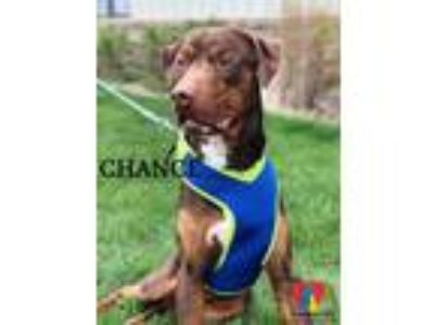 Adopt Chance a Brown/Chocolate Labrador Retriever / Mixed dog in Grand Island