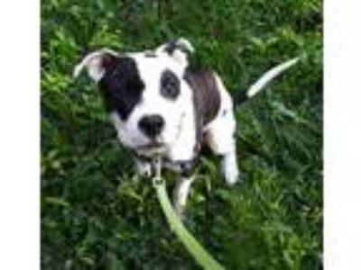 Adopt Poketa a American Pit Bull Terrier / Mixed dog in Pittsburgh