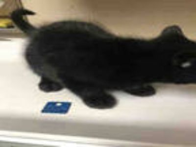 Adopt TROY a All Black Domestic Mediumhair / Mixed (medium coat) cat in