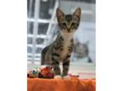 Adopt Betsey a Domestic Short Hair