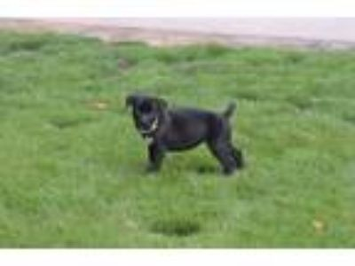 Adopt Shania Twain a Black Shepherd (Unknown Type) / Labrador Retriever / Mixed