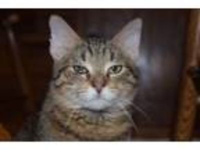 Adopt Vinny a Tabby, Domestic Short Hair