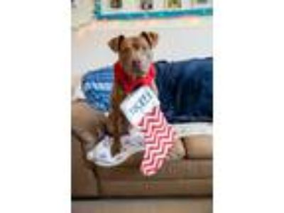 Adopt Tucker a Pit Bull Terrier