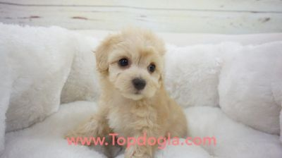 Morky Puppy- Male- England ($1.299)