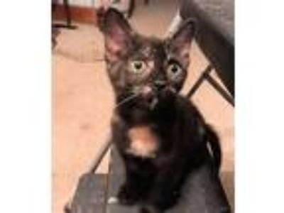 Adopt Lady Polgara a Calico or Dilute Calico Calico / Mixed (short coat) cat in