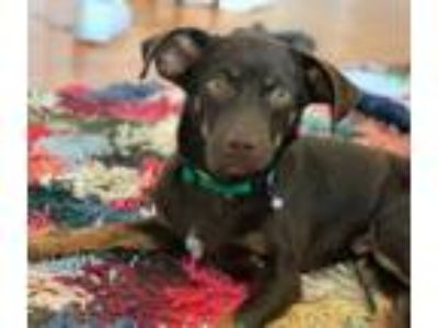 Adopt Carlo! *FOSTER NEEDED 5/25* a Dachshund