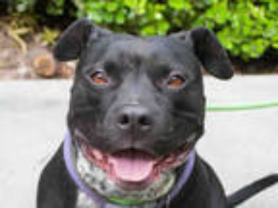Adopt ROXY a Black - with White American Pit Bull Terrier / Mixed dog in