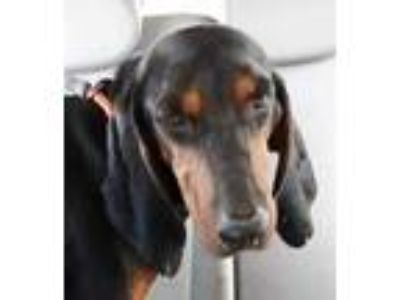Adopt John Pusher a Black Hound (Unknown Type) / Mixed dog in Walpole