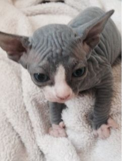 ~Sphynx Kitten to go --Text Only (804)251-0538