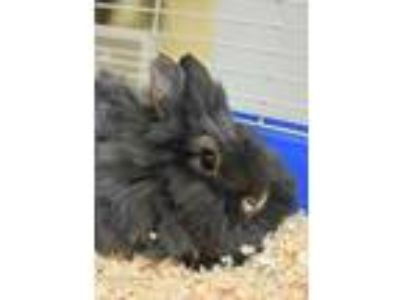Adopt Willow a Grey/Silver Other/Unknown / Other/Unknown / Mixed rabbit in