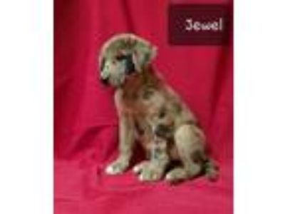 Adopt Jewel a Catahoula Leopard Dog, Shepherd