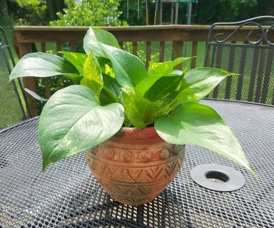Pothos Plant in Multi-Colored Clay Pot