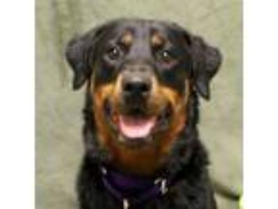 Adopt Roxy a Rottweiler, Mixed Breed