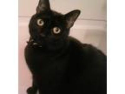 Adopt Iris a All Black Domestic Shorthair / Mixed cat in Crestview