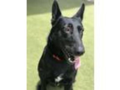Adopt Raya a German Shepherd Dog