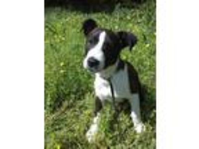 Adopt Moxi a Black - with White Border Collie / Labrador Retriever / Mixed dog