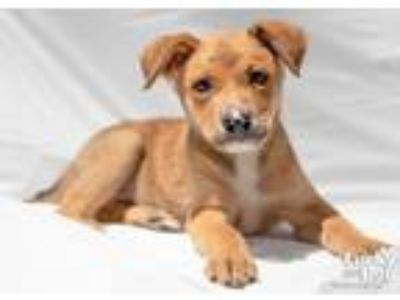 Adopt Higgins a Tan/Yellow/Fawn - with White Shepherd (Unknown Type) / Mixed dog