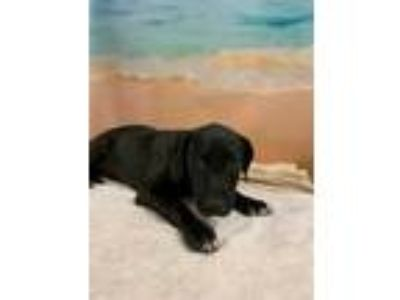 Adopt ALICIA a Black Labrador Retriever / Mixed dog in Tangent, OR (25829439)