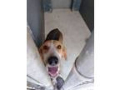 Adopt Harley a Tan/Yellow/Fawn Hound (Unknown Type) / Mixed dog in North Myrtle