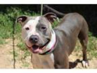 Adopt Broly SS a Brown/Chocolate American Pit Bull Terrier / Mixed dog in