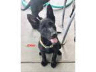 Adopt Chai a German Shepherd Dog, Labrador Retriever