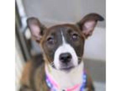 Adopt *KEISHA a Brindle - with White Bearded Collie / Mixed dog in Las Vegas