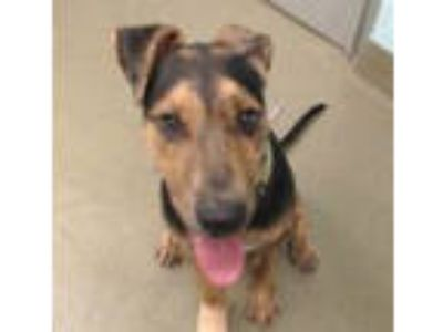 Adopt KANE a German Shepherd Dog, Pit Bull Terrier