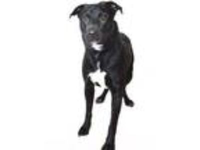 Adopt ZEUS a Pit Bull Terrier, Border Collie