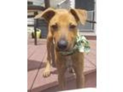 Adopt Rocky a Tan/Yellow/Fawn - with Black German Shepherd Dog / Belgian
