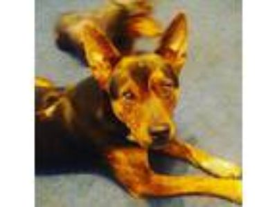 Adopt Moose a Tricolor (Tan/Brown & Black & White) Australian Cattle Dog /