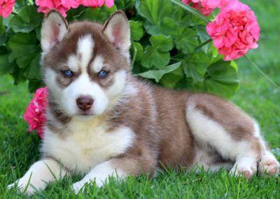 Siberian Husky PUPPY FOR SALE ADN-79250 - Siberian Husky Puppy For Sale