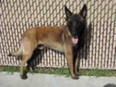 Adopt *MR. WICK a Brown/Chocolate - with Black Belgian Malinois / Mixed dog in