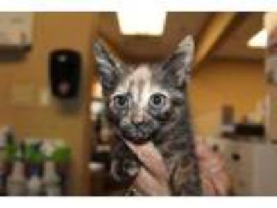 Adopt Corky a All Black Domestic Shorthair / Domestic Shorthair / Mixed cat in