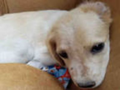 Adopt a Tan/Yellow/Fawn - with White Welsh Springer Spaniel / Mixed dog in Texas