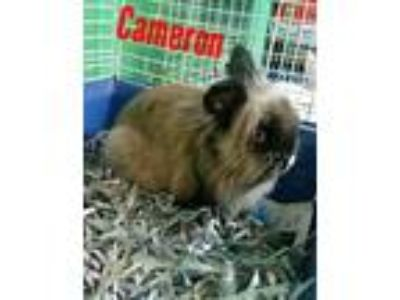 Adopt Cameron a Grey/Silver Lionhead / Mixed (medium coat) rabbit in Pottsville