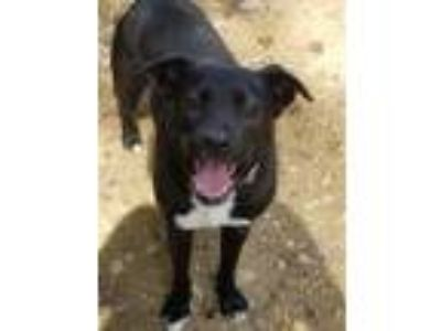 Adopt Lyra a Labrador Retriever, Border Collie