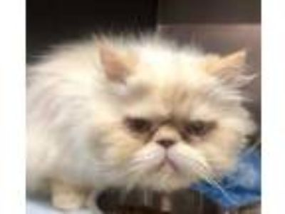 Adopt Walker a Orange or Red Persian / Domestic Shorthair / Mixed cat in Chico